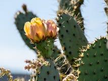 Blühender Pricky-Birnen-Kaktus am Laguna-Küsten-Wildnis-Park Lizenzfreie Stockbilder