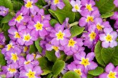 Blühender Primula Stockfotos