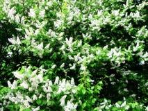Blühender Prunus padus Vogel-Kirschbaumhintergrund Lizenzfreie Stockfotos