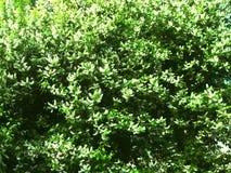 Blühender Prunus padus Vogel-Kirschbaumhintergrund Lizenzfreies Stockfoto