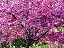 Blühender purpurroter Baum stockfotografie