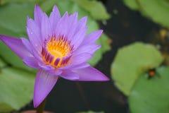Blühender purpurroter Lotos Stockbilder