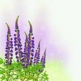 Blühender purpurroter Lupine auf unscharfem farbigem Hintergrund stockbilder