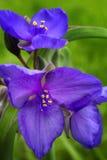 Blühender purpurroter Spiderwort Stockfotografie