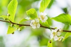 Blühender Rebeactinidia colomicta Lat Actinidia kolomikta oder Schieber Stockbild