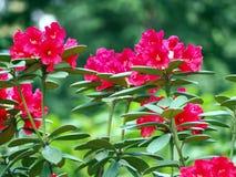 Blühender Rhododendron Stockfoto