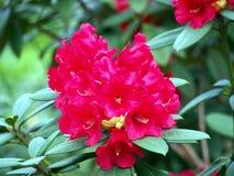 Blühender Rhododendron Lizenzfreie Stockfotos