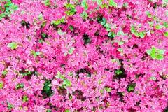 Blühender Rhododendronbusch mit rosafarbenen Blumen Stockbilder