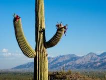 Blühender riesiger Kaktus bei Sonnenaufgang stockbilder