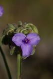 Blühender riesiger Spiderwort stockfotografie