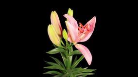 Blühender rosa ALPHAlech der Lilienblumenknospen stock video footage