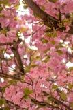 Blühender rosa Baum Stockfotos
