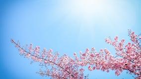 Blühender rosa Baum gegen den blauen Himmel Natürliches Blumen-backgrou Lizenzfreies Stockfoto