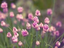 Blühender rosa Blumenschnittlauch-Zwiebelhintergrund Lizenzfreies Stockfoto