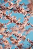 Blühender rosa Kirschbaum verzweigt sich mit Himmelhintergrundvertikale Stockfoto