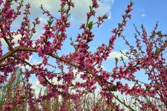 Blühender rosa Pfirsich blüht auf Baumstock auf Hintergrund des blauen Himmels am Anfang des springÑŽ Stockbilder