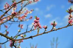 Blühender rosa Pfirsich blüht auf Baumstock auf Hintergrund des blauen Himmels am Anfang des springÑŽ Lizenzfreies Stockbild