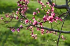 Blühender rosa Pfirsich blüht auf Baumstock mit grünem Hintergrund am Anfang des springÑŽ Stockbilder