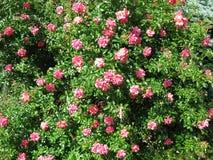 Blühender rosa Rosenbusch Stockfotografie