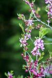 Blühender rosa zwergartiger Mandelbaum im Garten, Sommerzeit Lizenzfreies Stockfoto