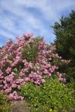 Blühender rosafarbener Oleanderbusch. Stockbilder