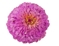 Blühender rosafarbener Zinnia stockbilder