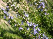 Blühender Rosmarin Stockbilder