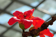Blühender roter Baumwollbaum Stockfoto