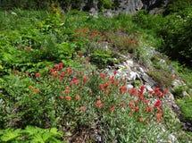 Blühender roter indischer Malerpinsel Stockfotografie