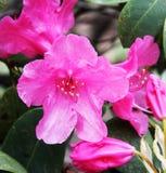 Blühender roter Rhododendron Lizenzfreies Stockfoto