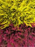 Blühender rotes und gelbes Goldheide Calluna gemeiner Ericaceae auf einem Hintergrund die Barke der Baumbalkonanlage Stockbild