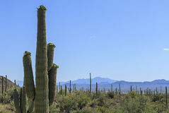 Blühender Saguaro-Kaktus stockfoto