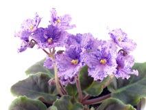 Blühender Saintpaulia Stockfoto