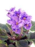 Blühender Saintpaulia Stockbilder