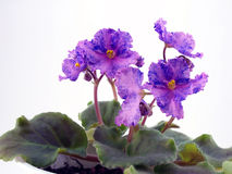 Blühender Saintpaulia Lizenzfreie Stockbilder