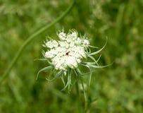 Blühender Sally Stockbild