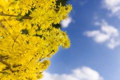 Blühender selektiver Fokus der Forsythiebäume lizenzfreie stockbilder