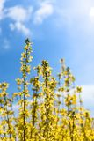 Blühender selektiver Fokus der Forsythiebäume stockbilder