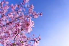 Blühender selektiver Fokus der rosa Magnolienbäume lizenzfreies stockbild