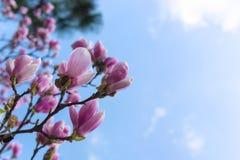 Blühender selektiver Fokus der rosa Magnolienbäume stockbilder
