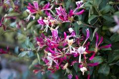 Blühender Serotina-Häuschen-Gartenbergsteiger zacken Blume, Sommerzeit aus Stockfoto