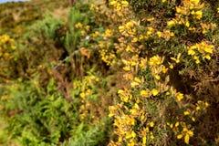 Blühender Stechginster oder Ulex europaeus Lizenzfreies Stockbild