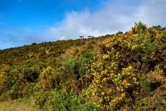 Blühender Stechginster oder Ulex europaeus Stockfotografie