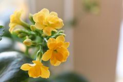 Blühender Succulent Stockfotografie