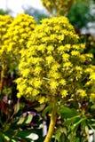 Blühender Succulent Stockfotos