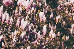 Blühender Untertassenmagnolienbaum stockfotografie