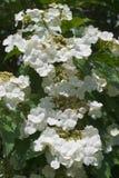 Blühender Viburnum Lizenzfreies Stockbild