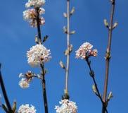 Blühender Viburnum Farreri auf Hintergrund des blauen Himmels Stockfotos
