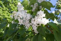 Blühender Vogelkirschbaum im Frühjahr Stockfotografie