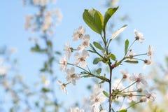 Blühender Vogelkirschbaumabschluß oben, Weichzeichnung Vogelkirsche blüht am sonnigen Tag im Frühjahr gegen blauen Himmel Lizenzfreie Stockbilder